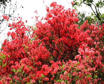 大香树种植技术